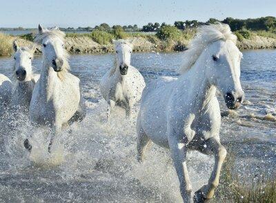 Affisch Flock av White Horses Running och plaskande genom vatten