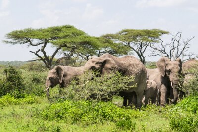 Affisch flock elefanter står bland Acacia träd på Serengeti Savannah landskap