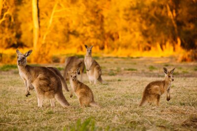 Affisch Flock kängurur på skymningen