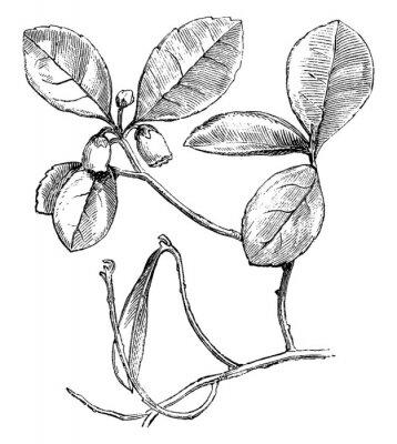 Affisch Flowering Branch of Gaultheria Procumbens (Creeping Wintergreen) vintage illustration.