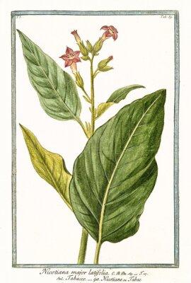 Affisch Gammal botanisk illustration av Nicotiana major (Nicotiana tabacum). Av G. Bonelli på Hortus Romanus, publ. N. Martelli, Rom, 1772 - 93