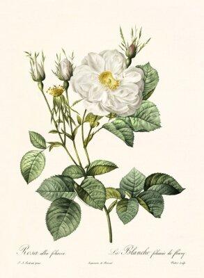 Affisch Gammal illustration av Rosa Alba Foliacea. Skapad av PR Redoute, publicerad på Les Roses, Imp. Firmin Didot, Paris, 1817-24