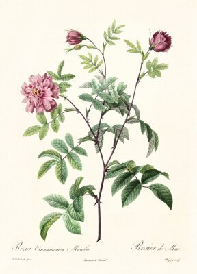 Affisch Gammal illustration av Rosa Cimmamomea Majalis. Skapad av PR Redoute, publicerad på Les Roses, Imp. Firmin Didot, Paris, 1817-24