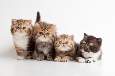 Affisch gatitos