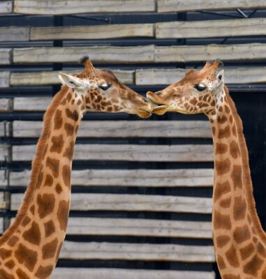 Affisch Girafes, baiser