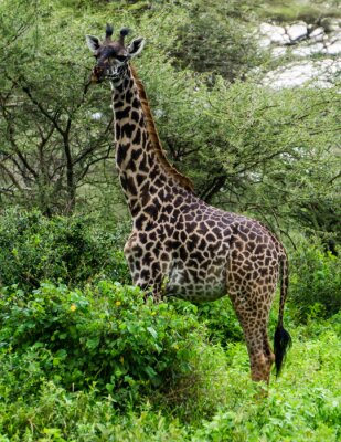 Affisch giraff bland Acacia träd i Serengeti