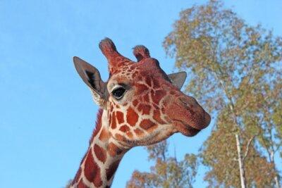 Affisch giraff foto