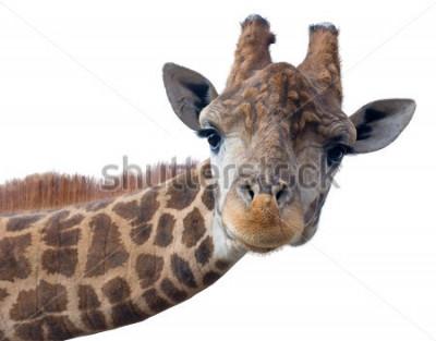Affisch Giraff huvud ansikte isolerad på vit bakgrund