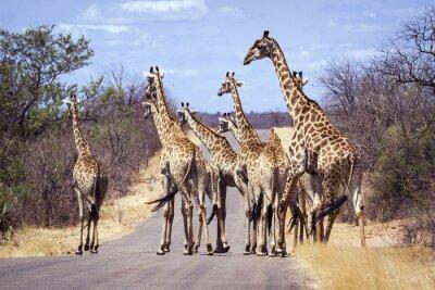 Affisch Giraff i Kruger National Park