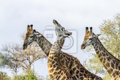 Affisch Giraff i Kruger National Park, Sydafrika