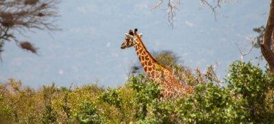 Affisch Giraff i Tsavo East National Park