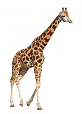 Affisch giraff isolerad på vit bakgrund