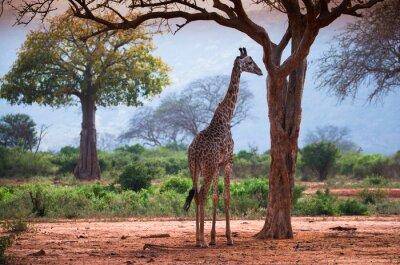 Affisch Giraff med baobabträd