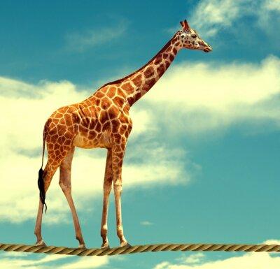 Affisch giraff på rep