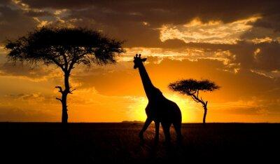 Affisch Giraff på solnedgången på savannen. Kenya.