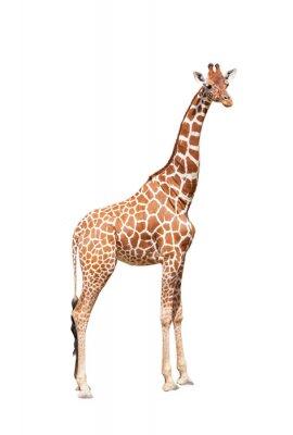 Affisch Giraff till det yttersta. Det är isolerade på vitt