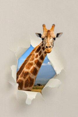 Affisch Giraff tittar genom ett hål slets papperet