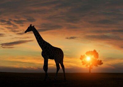 Affisch Giraff under afrikansk solnedgång