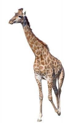 Affisch Giraffe isolerad på vit bakgrund
