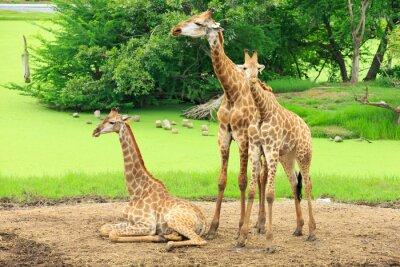 Affisch giraffer