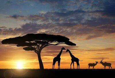 Affisch Giraffer med Kudu vid solnedgången