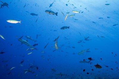 Affisch Grå haj redo att attackera under vattnet