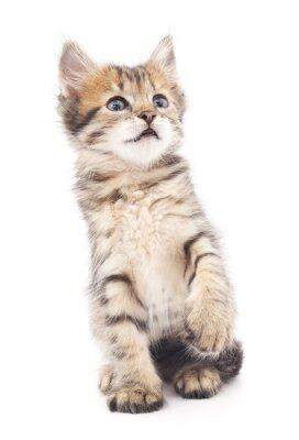 Affisch Grå kattunge spelas.