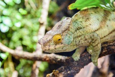 Affisch Grön Chameleon Ödla på Branch