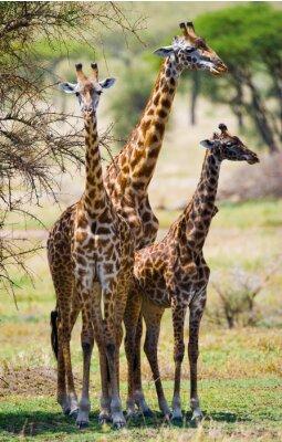Affisch Grupp av giraffer i savannen. Kenya. Tanzania. Östafrika. En utmärkt illustration.