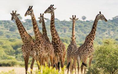 Affisch Grupp av sex giraffer i Tarangire National Park, Tanzania