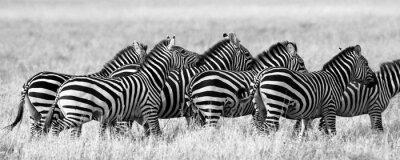 Affisch Grupp av zebror på savannen. Kenya. Tanzania. Nationalpark. Serengeti. Maasai Mara. En utmärkt illustration.