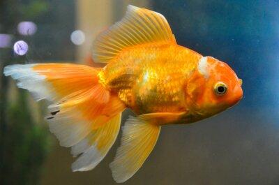 Affisch Guld fisk, guldfisk vattens
