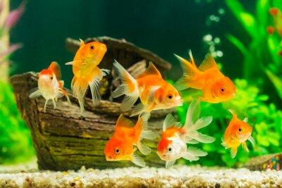 Affisch Guldfisk i akvarium med gröna växter