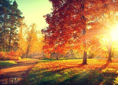 Affisch Höstplats. Falla. Träd och blad i solljus