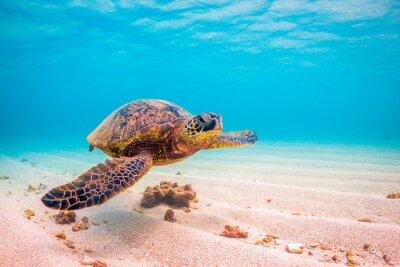 Affisch Hotade Hawaiian Grön havssköldpadda kryssningar i det varma vattnet i Stilla havet på Hawaii