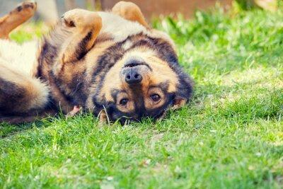 Affisch Hund liggande på rygg i gräset