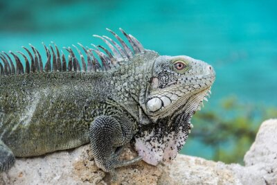 Affisch Iguana på Playa Lagun, Curaçao