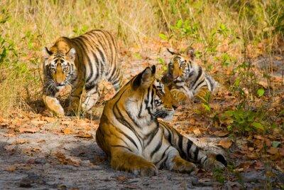 Affisch Indien. Bandhavgarh National Park. Madhya Pradesh. En utmärkt illustration.