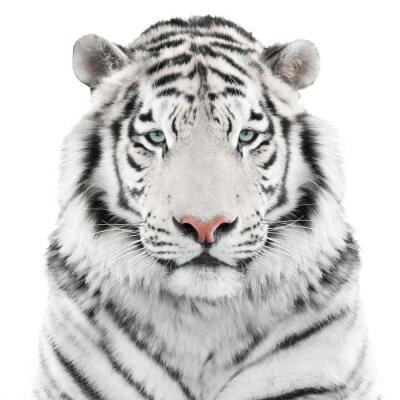 Affisch Isolerade vit tiger
