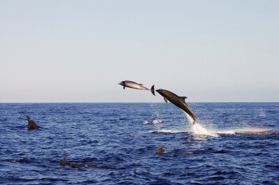 Affisch Jumping Dolphins - Galapagos