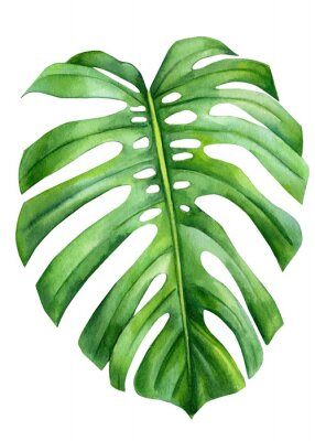 Affisch Jungle green leaves of monstera creepers on an isolated white background, watercolor illustration, botanical painting