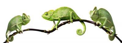 Affisch kameleont - Chamaeleo calyptratus på en gren