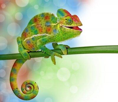 Affisch kameleont och färger