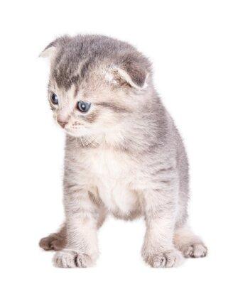 Affisch kattunge isolerat på vit