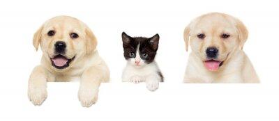 Affisch kattunge och valp Labrador peeps