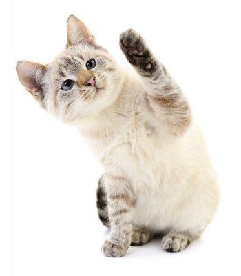 Affisch Kattunge på en vit bakgrund