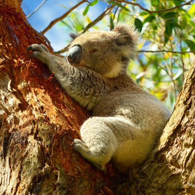 Affisch Koalas längs Great Ocean Road, Victoria, Australien