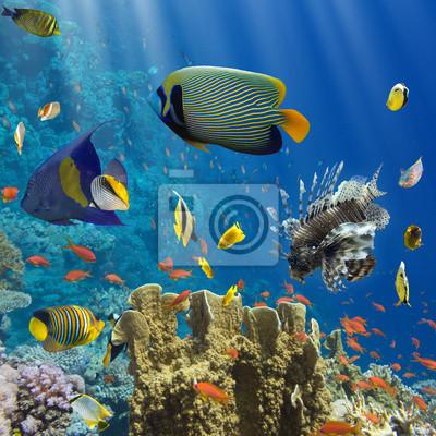 Affisch Koraller och fiskar i Röda Sea.Egypt