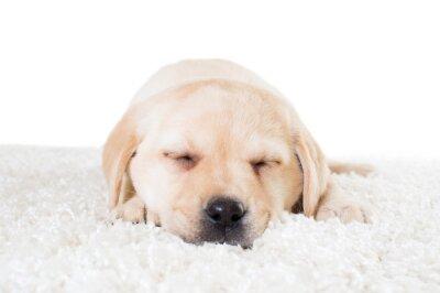Affisch labrador valp sover på en fluffig matta