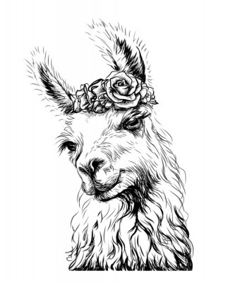 Affisch Lama/Alpaca. Sticker on the wall in the form of an outline, hand-drawn artistic portrait of a lama on a white background.